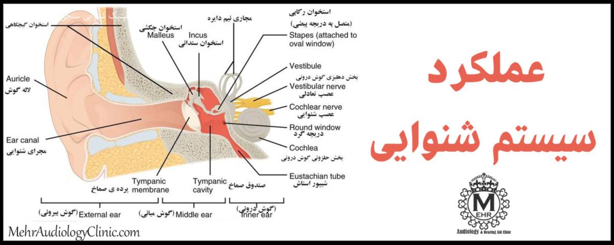 آناتومی بخشهای مختلف سیستم شنوایی انسان